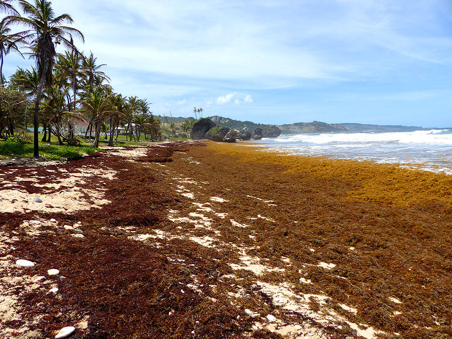 Algenproblem Barbados