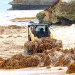 Algenproblem auf Barbados. Räumungsarbeiten am Strand